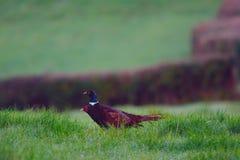 hånglad pheasantcirkel Royaltyfri Foto