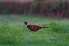 hånglad pheasantcirkel Arkivfoto