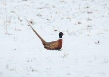 hånglad running snow för pheasantcirkel Royaltyfri Fotografi