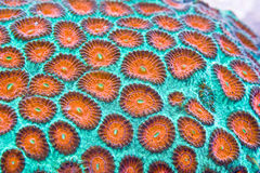 hård korall Fotografering för Bildbyråer
