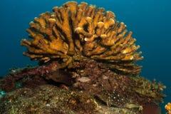 Hård korall, Baja rev Arkivfoto