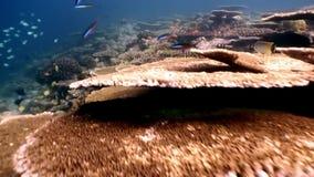 Hård korallacropora som är undervattens- på fantastisk havsbotten i Maldiverna lager videofilmer