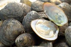 Hård mussla Fotografering för Bildbyråer