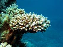 hård rev för korall Royaltyfri Bild