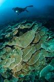 Hård riskorallMontipora capitata med dykaren i Gorontalo, Indonesien undervattens- foto royaltyfri fotografi
