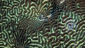 Hård rund korallhjärna i form av undervattens- fantastisk havsbotten för boll i Maldiverna stock video