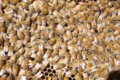 Hårda funktionsdugliga Honey Bees Feeding Brood Royaltyfri Bild