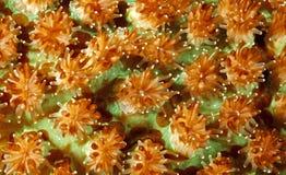 hårda polyps för korall royaltyfria foton