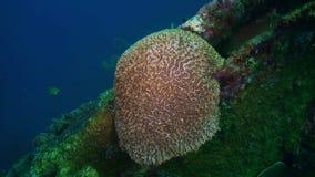 Hårda steniga koraller och färgrik fisk i det blåa havet stock video