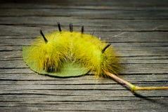 hårig caterpillar Arkivfoton