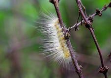 Hårig gul larv på en filial Arkivbilder