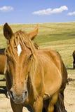 Hårig häst Arkivfoto