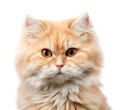 Hårig kattstående för rödhårig man Royaltyfri Fotografi