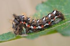 Hårig larv med röda och vitprickar Fotografering för Bildbyråer