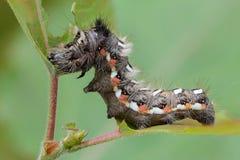 Hårig larv med röda och vitprickar Arkivfoton
