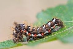 Hårig larv med röda och vitprickar Royaltyfri Bild