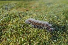 Hårig larv mycket av daggdroppar Royaltyfria Bilder