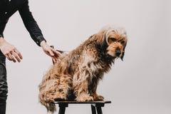 Hårig päls- gullig brun hund på en stol i ett studioläge som ser drömlikt royaltyfri fotografi