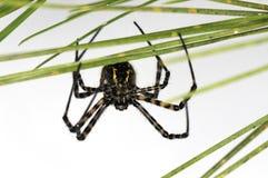 hårig spindel Royaltyfria Foton