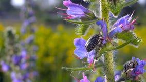 Hårig vak för blommaChaferskalbagge (den Tropinota hirtaen) upp i morgonen arkivfilmer