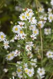 Hårig vit Oldfield aster - Symphyotrichum pilosum royaltyfri foto