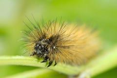 Håriga Caterpillar Royaltyfri Fotografi