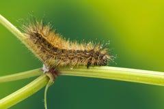 Håriga Caterpillar Royaltyfri Bild