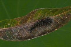 Håriga Caterpillar Royaltyfri Foto