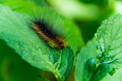 Håriga Caterpillar Arkivbild