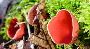 Håriga koppsvampar royaltyfri bild