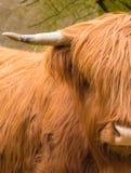 Håriga kor för Scottisch kobullnose Royaltyfri Foto