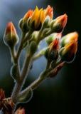 Håriga suckulenta knoppar Royaltyfri Fotografi