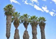 Hårigt gömma i handflatan träd i den blåa soliga himlen Royaltyfri Fotografi