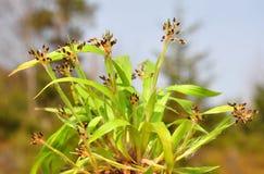 Hårigt trä-rusa (den Luzula pilosaen) Royaltyfri Foto