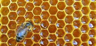 Hårkamhonung med biet Arkivbild