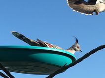 Hårknut krönade duvor i förlagematare Royaltyfria Foton