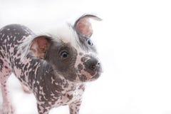 hårlös mexikan för 4 hund Fotografering för Bildbyråer