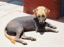 hårlös mexikan för hund Arkivfoto