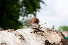 Hélice d'escargot de Bourgogne, escargot romain, escargot comestible, jabot d'escargot Images libres de droits