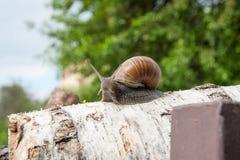 Hélice d'escargot de Bourgogne, escargot romain, escargot comestible, jabot d'escargot Images stock