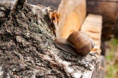 Hélice d'escargot de Bourgogne, escargot romain, escargot comestible, jabot d'escargot Image stock