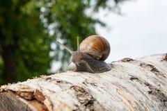 Hélice d'escargot de Bourgogne, escargot romain, escargot comestible, jabot d'escargot Photo libre de droits