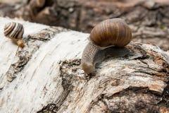 Hélice d'escargot de Bourgogne, escargot romain, escargot comestible, jabot d'escargot Photographie stock libre de droits
