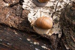 Hélice d'escargot de Bourgogne, escargot romain, escargot comestible, jabot d'escargot Image libre de droits