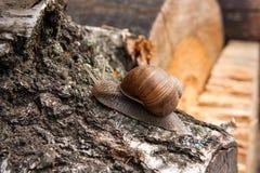 Hélice d'escargot de Bourgogne, escargot romain, escargot comestible, jabot d'escargot Photos libres de droits