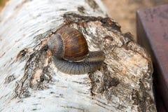 Hélice d'escargot de Bourgogne, escargot romain, escargot comestible, jabot d'escargot Photographie stock