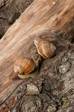 Hélice de deux escargots de Bourgogne, escargot romain, escargot comestible, escargot Image stock