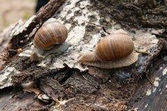 Hélice de deux escargots de Bourgogne, escargot romain, escargot comestible, escargot Photographie stock