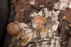 Hélice de deux escargots de Bourgogne, escargot romain, escargot comestible, escargot Image stock