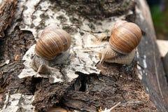 Hélice de deux escargots de Bourgogne, escargot romain, escargot comestible, escargot Photos libres de droits